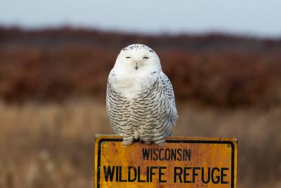 Snowy Owl 10-2015