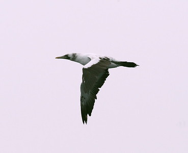 Pelicans, Cormorants, Boobies, Frigatebirds
