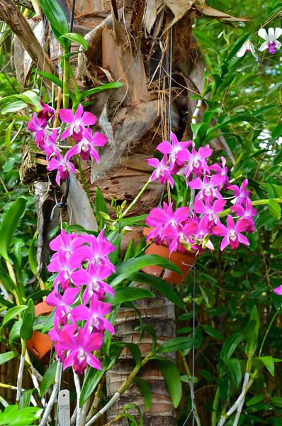 Dendrobuim orchid