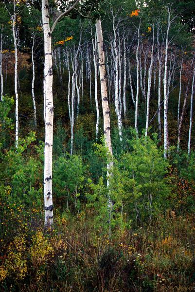 Trees of White