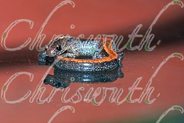 Eastern red-backed salamander (Plethodon cinereus)
