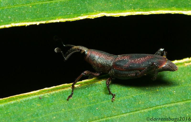 Weevil (Curculionoidea) from Monteverde, Costa Rica.