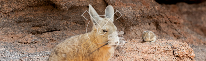 Confrontation of Viscacha and mouse at Eduardo Avaroa Andean Fauna National Reserve