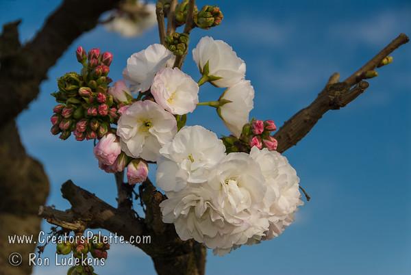 Mt. Fuji - Shirotae Flowering Cherry (Prunus serrulata 'Shirotae')