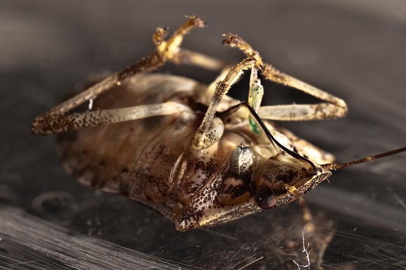 Stink Bug on its Back.jpg