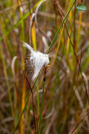 Linaigrettes (Eriophorum)