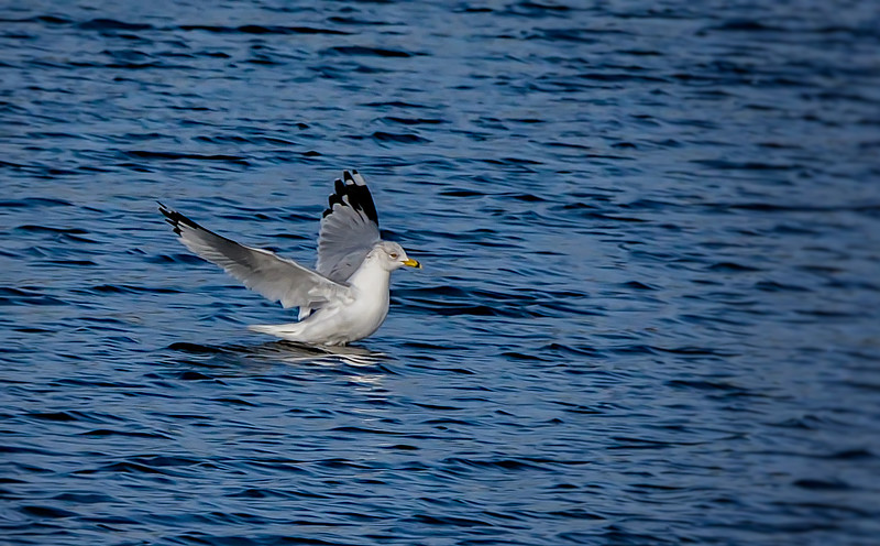 2018 Huntington Beach State Park seagull lands 1-.jpg