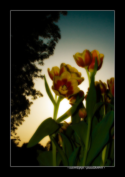 Tulips outdoor_03-MS copy.jpg