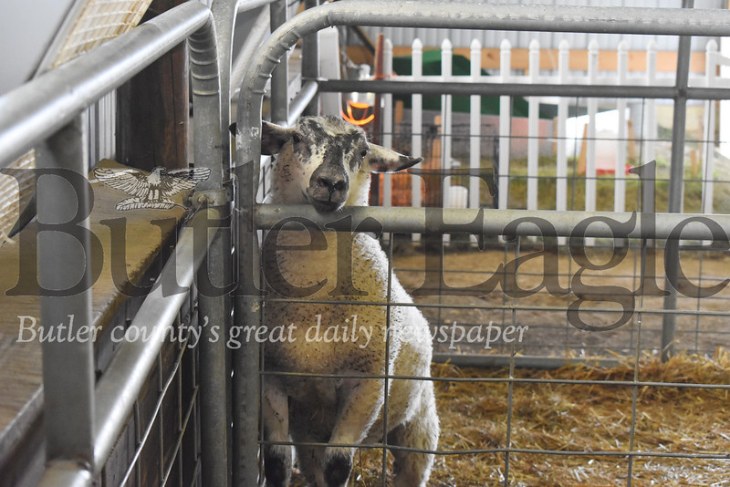 0711_LOC_BC Fair Sheep.jpg