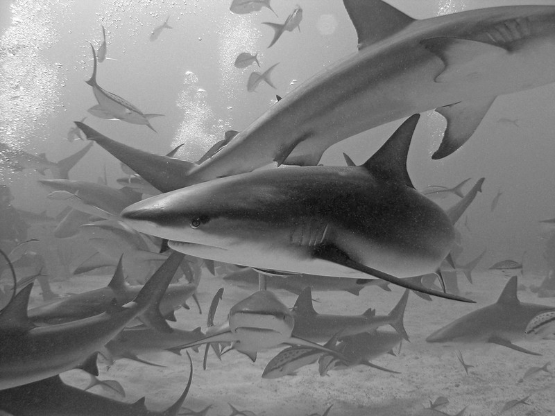"""S"" is for sharks.  It was tough to pick just one ""S"" as Seahorse and Stingray were close contenders.  This picture may not be the cleanest but represents the large number of sharks that surrounded us and was one of the best dives I've ever been on.  It was a shark dive with Stuart's Cove in the Bahamas.  They are always on Shark Week sharing shark stories.  This dive had the divers form a circle on the bottom and then shark feeders were in the middle to feed these Caribbean Reef Sharks.   There were about  40+ that showed up swimming so close to us as you can see.  This dive was the one that took my fear of sharks away and can't wait to do it again!"