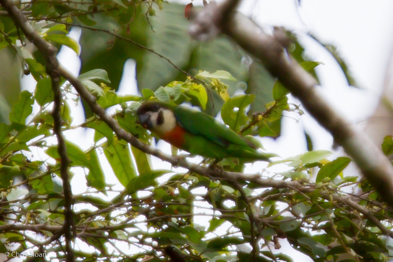 Orange-bellied Fig-Parrot at Kwatu Lodge, Papua New Guinea (10-11-2013) 017-126.jpg