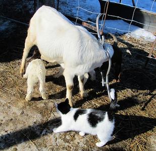 Goats, 2014