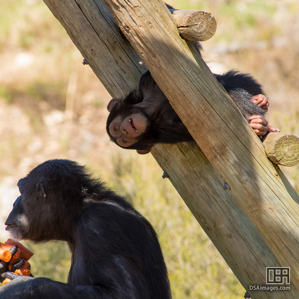 Young Common Chimpanzee (Pan troglodytes)