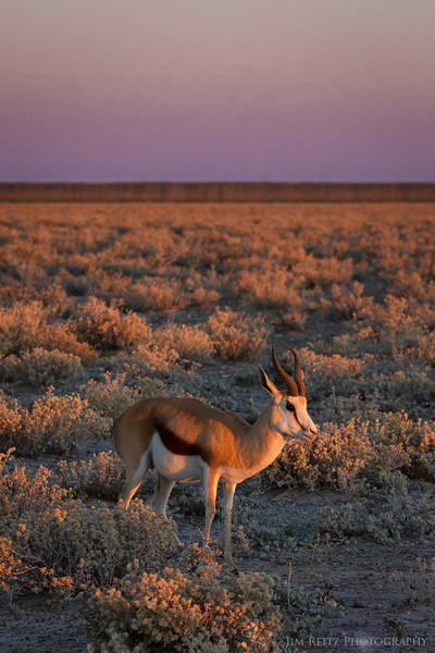 Springbok at dawn - Etosha National Park, Namibia.