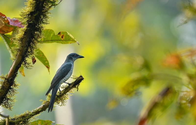 Bar-bellied Cuckooshrike-Andamans-female.jpg