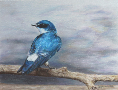 """Swallow in Caño Negro"" (colored pencil) by Caryn Coville"