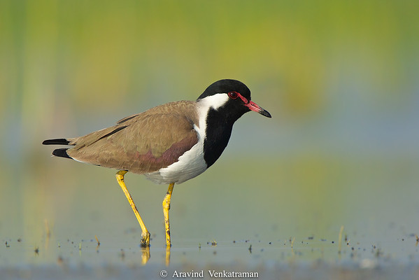 Lapwings of India