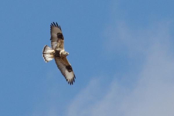 Rough-legged Hawk: Augusta Co., VA