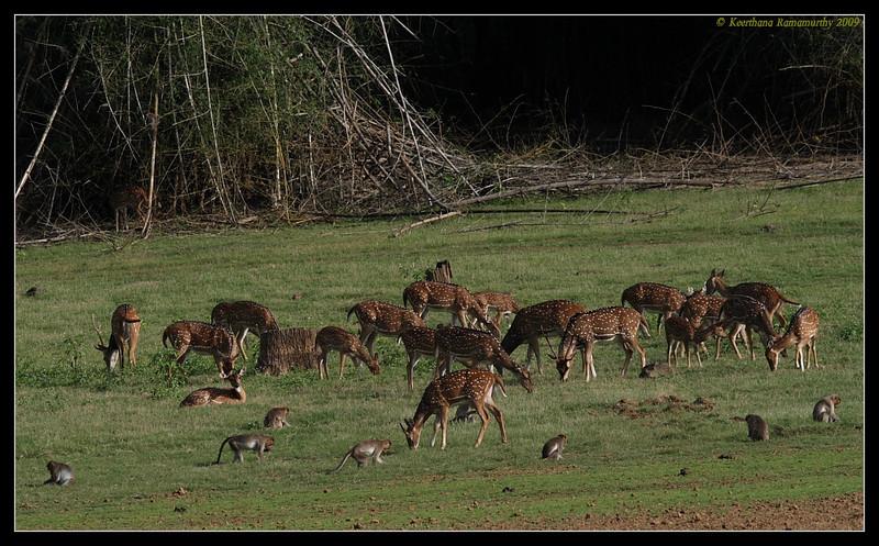 Spotted Deer & Bonnet Macaques, Kabini, Mysore, Karnataka, India, June 2009