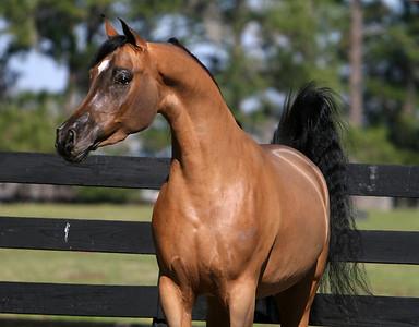 Rohara Arabians