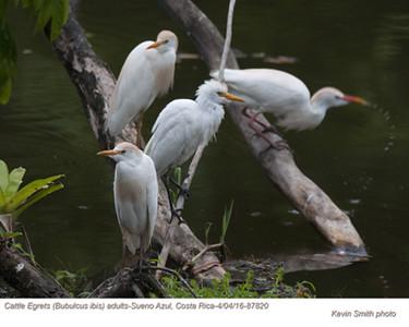 Cattle Egrets A87820.jpg