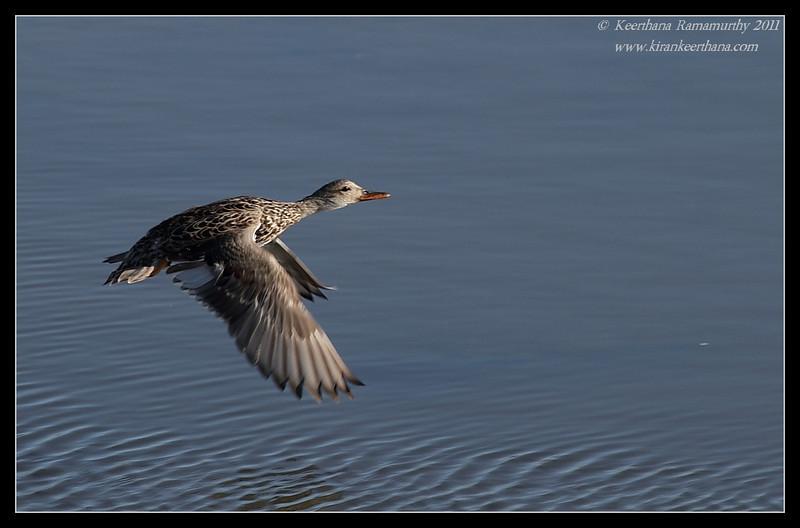 Gadwall duck, Flood Control Channel, San Diego River, San Diego County, California, April 2011