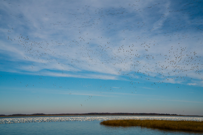Snow Geese Bombay Hook Fall 2019-14.jpg