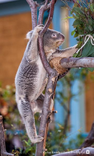 Koalafornia-14.jpg