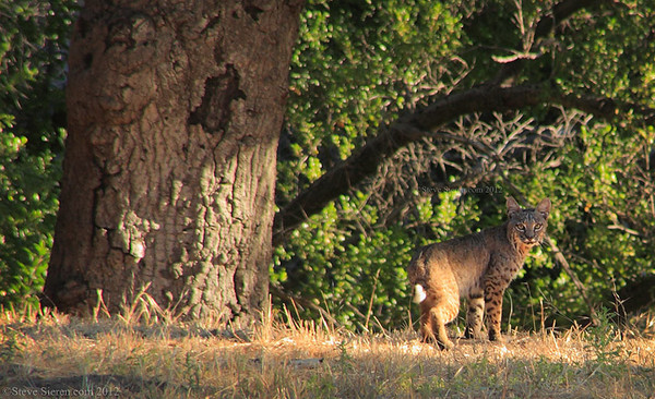 Bobcat in Placerita Canyon, Santa Clarita, California