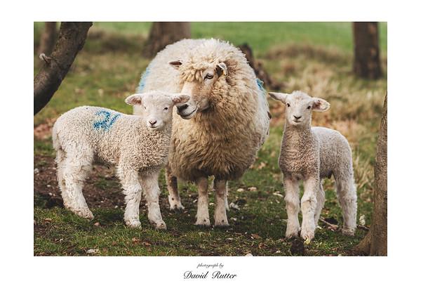 April 2021; fritillaries, sheep and bluebells