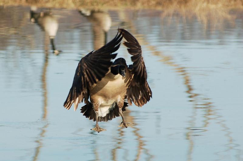 Geese 4.JPG