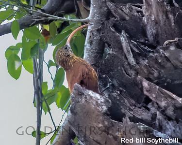 Red-billed Scythbill, Pantanal
