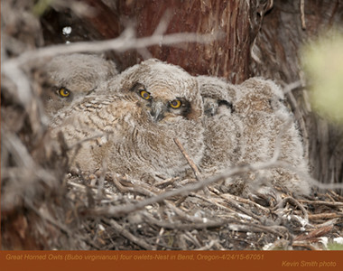 Great Horned Owls N67051 .jpg