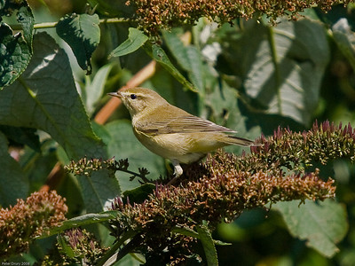 Willow Warbler (Phylloscopus trachilus)