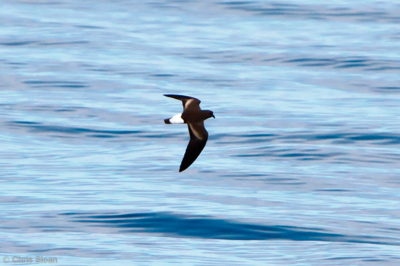 Wedge-rumped Storm-Petrel at Bolivar Channel, Galapagos, Ecuador (11-24-2011) - 623.jpg