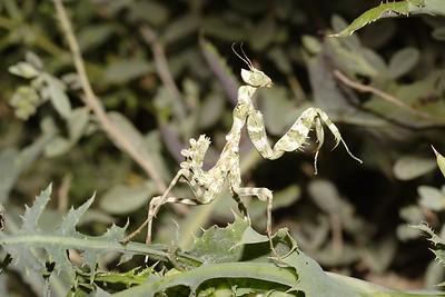 Striped Mantis