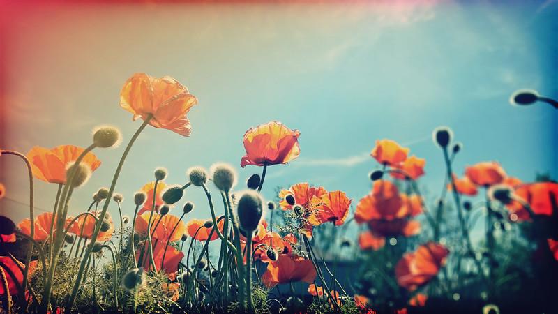 Poppies & Sunshine....