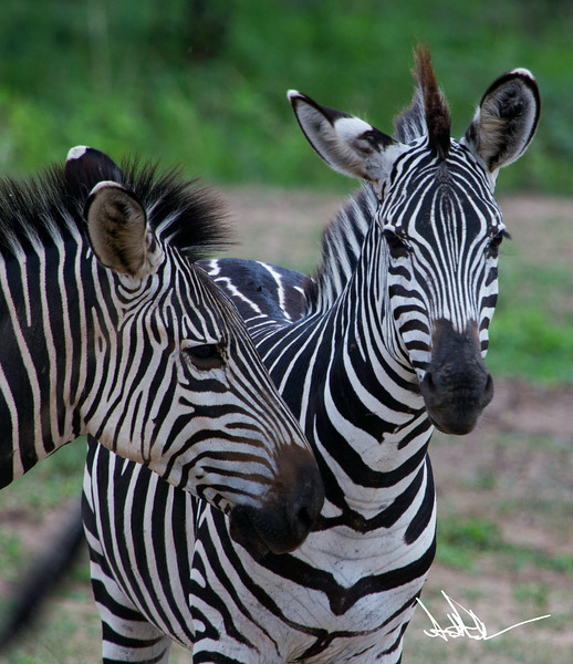 ZebraS-14.jpg