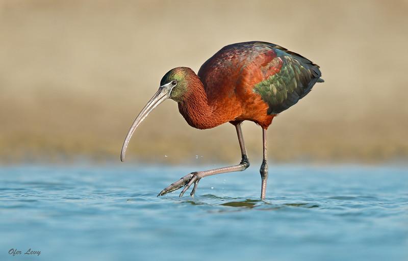 Glossy Ibis MASTER 2.jpg