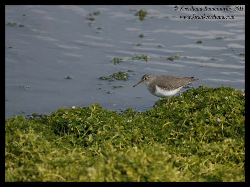 Spotted Sandpiper, Lindo Lake, San Diego County, California, November 2011