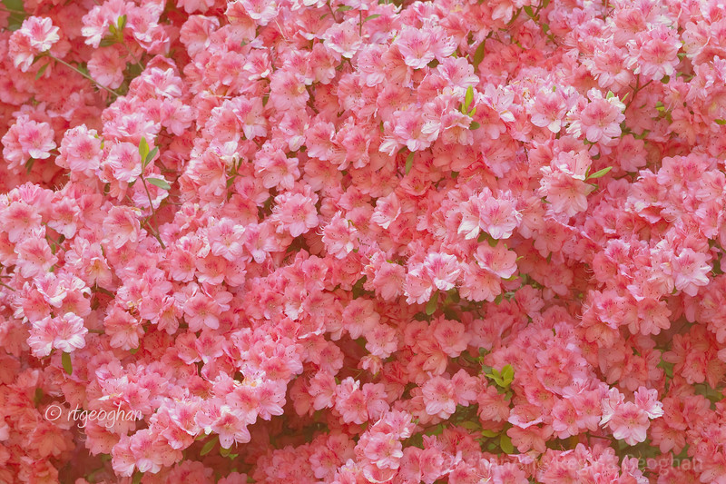 Flowering Shrubs_Azaleas-Pink_0160.jpg