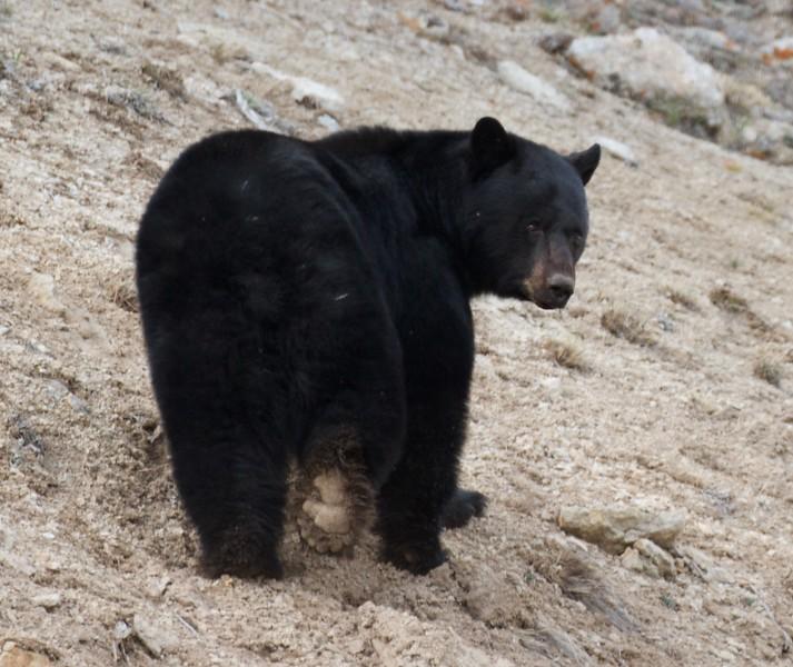 Black Bear Yellowstone National Park WY IMG_5811.jpg