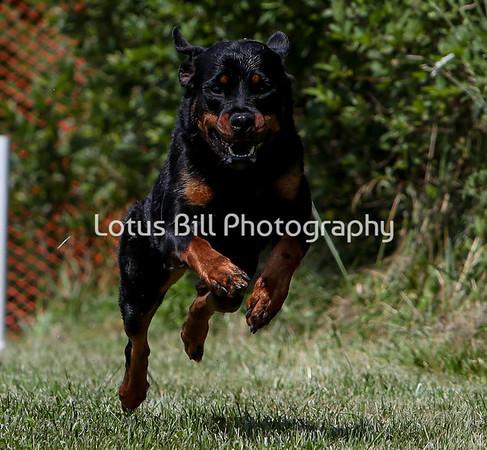 Rottweiler SR