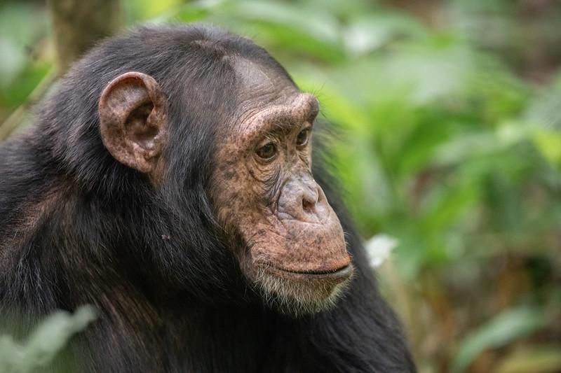 Uganda_T_Chimps-1759.jpg