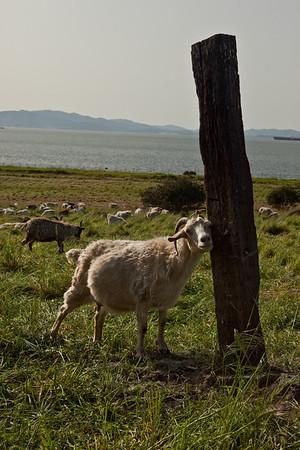 goats 2010