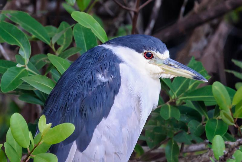 Night-Heron - Black-crowned - Ding Darling NWR - Sanibel Island, FL