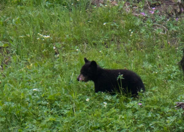 Black bear cub playing.