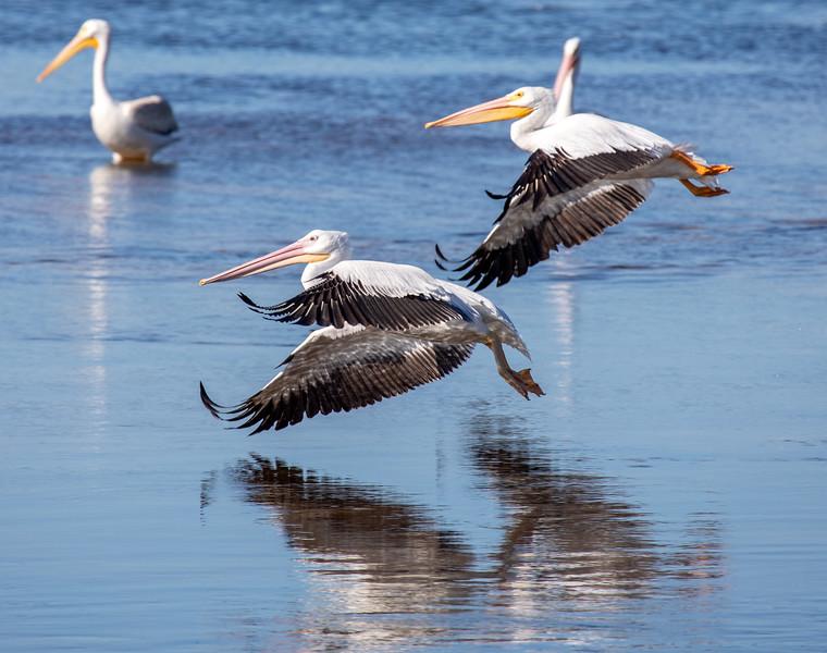 Pelicans-Flight-2.jpg