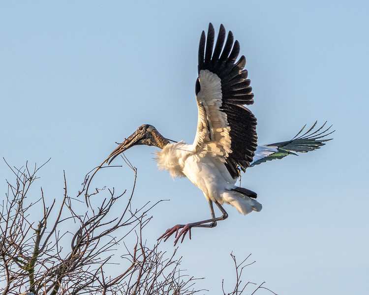 Wood Stork - landing  - these will hold me won't they?