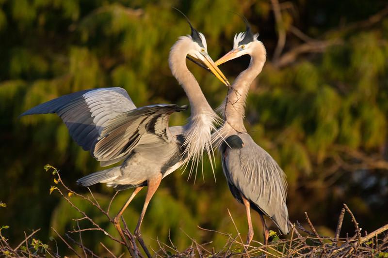 Great Blue Herons Nesting Ritual FL 2020-2.jpg